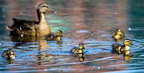 Steve Griffin  |  The Salt Lake Tribune   Ducklings swim with their mother in the Sugarhouse Park pond in  Salt Lake City, Utah Monday, June 9, 2014.