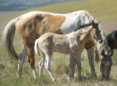 Rick Egan  |  The Salt Lake Tribune  A foal and it's mother in the Onaqui wild horse herd, about 60 miles southwest of Tooele,  near Simpson Springs, Thursday, June 5, 2014.