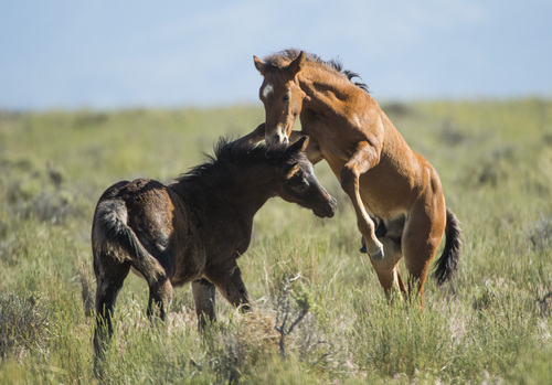 Rick Egan  |  The Salt Lake Tribune  Foals play together in the Onaqui wild horse herd, about 60 miles southwest of Tooele, near Simpson Springs, Thursday, June 5, 2014.