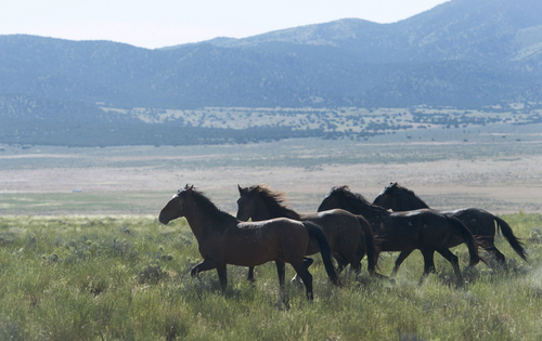 Rick Egan  |  The Salt Lake Tribune  Wild Horses in the Onaqui herd, about 60 miles southwest of Tooele,  near Simpson Springs, Thursday, June 5, 2014.