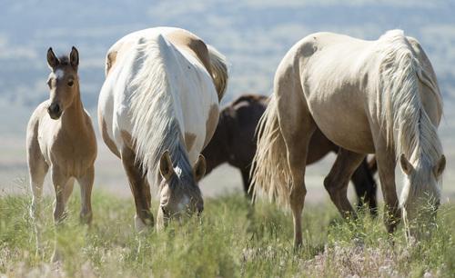 Rick Egan  |  The Salt Lake Tribune  A foal in the Onaqui wild horse herd, about 60 miles southwest of Tooele,  near Simpson Springs, Thursday, June 5, 2014.