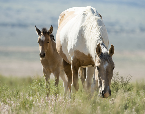 Rick Egan  |  The Salt Lake Tribune A foal with his mother, in the Onaqui wild horse herd, about 60 miles southwest of Tooele, near Simpson Springs last week.