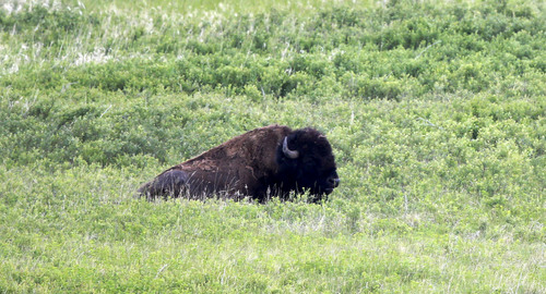 In this Wednesday, June 11, 2014, photo, a Bison rests inside the Theodore Roosevelt National Park located in the Badlands of North Dakota. The park of more than 70,000 acres sits atop the Bakken shale, an oil-rich rock formation that for decades frustrated drillers who could not coax anything profitable from the ground. But advances in hydraulic fracturing and directional drilling have unlocked huge amounts of petroleum here. North Dakota is now the second-biggest oil producer in the U.S. after Texas. Oil development is strictly forbidden within the park itself, but park officials worry that the flares and noise from drilling just beyond the protected area sullies the natural spaces that drew Roosevelt here as a bespectacled young man in his mid-20s. (AP Photo/Charles Rex Arbogast)