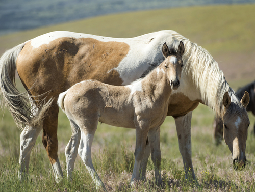 Rick Egan  |  The Salt Lake Tribune  A foal with it's mother, in the Onaqui wild horse herd, about 60 miles southwest of Tooele,  near Simpson Springs, Thursday, June 5, 2014.