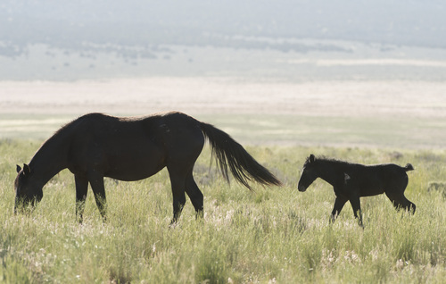 Rick Egan  |  The Salt Lake Tribune  A foal walks with it's mother in the Onaqui wild horse herd, about 60 miles southwest of Tooele,  near Simpson Springs, Thursday, June 5, 2014.