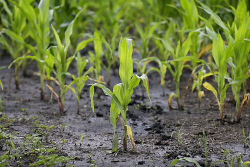 A corn plant sits in a muddy farm field, Monday, June 30, 2014, near Dallas Center, Iowa. The U.S. Department of Agriculture, in a report released Monday, says farmers are planting the smallest corn crop since 2010 but as expected have planted the largest soybean crop on record. (AP Photo/Charlie Neibergall)