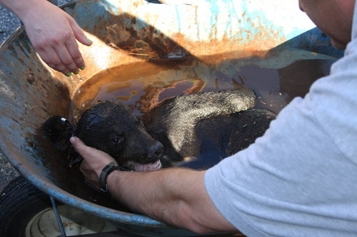 This undated photo provided by the New Jersey Department of Environmental Protection shows a bear cub who was rescued after getting its head stuck in an oversized cookie jar. The cub was rummaging through trash on Friday, June 27, 2014. After the animal was tranquilized by a DEP biologist, it was brought down and local firefighters gingerly cut the jar off its head. (AP Photo/NJ Department of Environmental Protection)