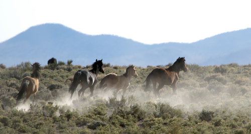 Rick Egan  |  Tribune file photo  Wild horses on BLM land northwest of Cedar City, Wednesday, April 23, 2014.