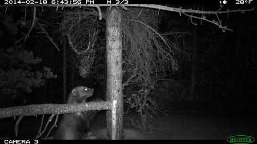 Utah Division of Wildlife Resources | Courtesy Photo  Biologists captured this image of a wolverine last winter on the north slope of the Uinta Mountains, the first siting of the rare predator in Utah since a carcass was found in 1979.