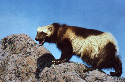 | Courtesy U.S. Fish and Wildlife Service State wildlife officials from the West will ask the U.S. Fish and Wildlife Service to extend a decision on listing wolverines as threatened on the Endangered Species List for 90 days after the group decided the science used to propose the species was faulty during a meeting earlier this month in Salt Lake City.