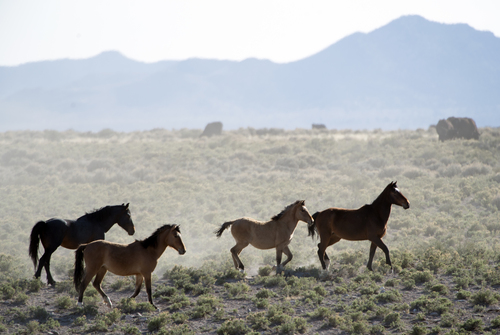 Rick Egan  |  The Salt Lake Tribune  Wild horses roam on BLM land at the north end of the Escalante Valley 60 miles west of Cedar City, Wednesday, April 23, 2014.