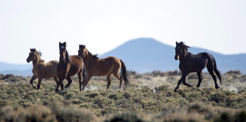 Rick Egan  |  The Salt Lake Tribune Wild horses run on BLM land northwest of Cedar City in April.