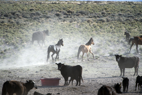 Rick Egan  |  The Salt Lake Tribune  Wild horses share the water a rancher has placed for his cattle on BLM land northwest of Cedar City, Wednesday, April 23, 2014.