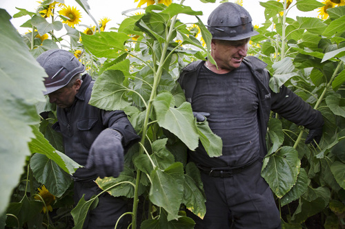 Ukrainian coal miners wade through a field of sunflowers as they search the site of a crashed Malaysia Airlines passenger plane near the village of Rozsypne, Ukraine, eastern Ukraine Friday, July 18, 2014. Rescue workers, policemen and even off-duty coal miners were combing a sprawling area in eastern Ukraine near the Russian border where the Malaysian plane ended up in burning pieces Thursday, killing all 298 aboard. (AP Photo/Dmitry Lovetsky)