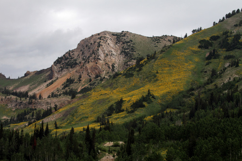 Rick Egan  | The Salt Lake Tribune   Wildflowers in the Albion Basin, at Alta Ski Resort, Wednesday, July 17, 2013.