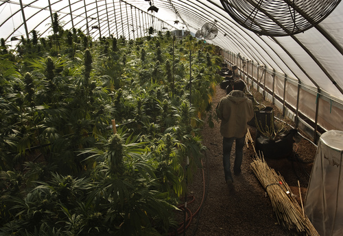 Leah Hogsten  |  The Salt Lake Tribune Coloradoís sunny climate allows Realm of Caring to grow year-round. They get two harvests a year, but they hope to soon ramp up production to three to four harvests.