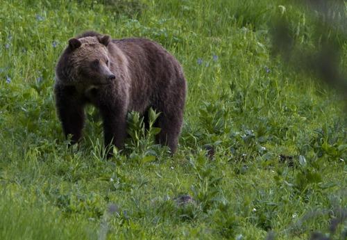 A grizzly bear roams near Beaver Lake in Yellowstone National Park, Wyo.,  July 2011. (AP Photo/Jim Urquhart)