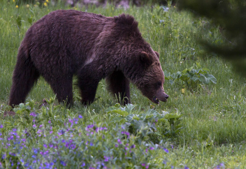 A grizzly bear roams near Beaver Lake in Yellowstone National Park, Wyoming, on Wednesday, July 6, 2011. (AP Photo/Jim Urquhart)