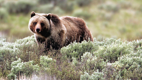 FILE - This June 7, 2005 file photo released by Yellowstone National Park shows a grizzly bear moving through the brush at the park in Wyoming.