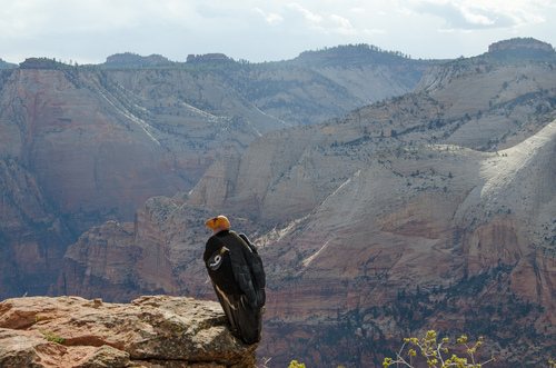 Courtesy of the National Park Service The condor known as #9, mother to a newborn condor chick just born in Zion National Park.