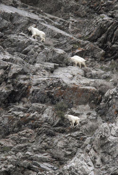 Francisco Kjolseth     Tribune file photo Four mountain goat looks feed along the jagged rocks at the base of Little Cottonwood Canyon in 2011.