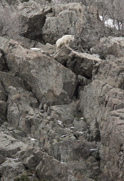 Francisco Kjolseth       Tribune file photo A mountain goat looks down into the valley from the jagged rocks at the base of Little Cottonwood Canyon in 2011.