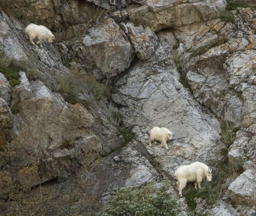 Steve Griffin      Tribune file photo  A pair of young mountain goats and an adult graze on the cliffs at the mouth of Little Cottonwood Canyon Friday, November 5, 2010.