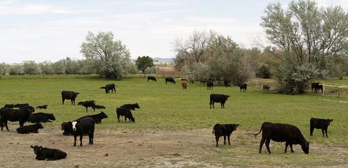 Al Hartmann     The Salt Lake Tribune Cattle graze in a field north of Huntington in central Utah's Emery County on July 19, 2012.