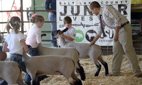 Al Hartmann  |  The Salt Lake Tribune  FFA adviser MIke Hughes judges suffolk sheep at the Junior Livestock Show at the Salt Lake County Fair Thursday August 7, 2014.  The fair runs from 10 a.m. to 10 p.m. through Saturday.