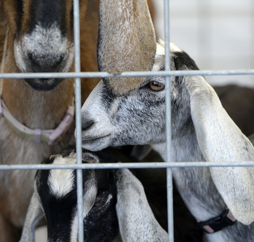 Al Hartmann  |  The Salt Lake Tribune  Nubian goat kids stay close to their mother at the petting zoo display at the Salt Lake County Fair Thursday August 7.   The fair runs from 10 a.m. to 10 p.m. through Saturday.
