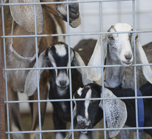 Al Hartmann  |  The Salt Lake Tribune  Nubian goat kids stay close to their mother at the petting zoo display at the Salt Lake County Fair Thursday August 7, 2014.  The fair runs from 10 a.m. to 10 p.m. through Saturday.