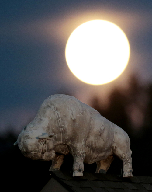 """A statue of a bison stands over a business in Custer, S.D., under a supermoon, Sunday, Aug. 10, 2014, in Custer, S.D. The phenomenon, which scientists call a """"perigee moon,"""" occurs when the moon is near the horizon and appears larger and brighter than other full moons. (AP Photo/Julio Cortez)"""