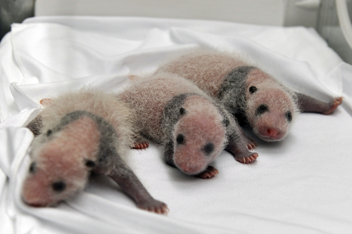 Triplet panda cubs rest in an incubator at the Chimelong Safari Park in Guangzhou in south China's Guangdong province Tuesday Aug. 12, 2014. China announced Tuesday the birth of extremely rare panda triplets in a further success for the country's artificial breeding program. The three cubs were born July 29 in the southern city of Guangzhou, but breeders delayed an announcement until they were sure all three would survive, the official China News Service said.(AP Photo) CHINA OUT