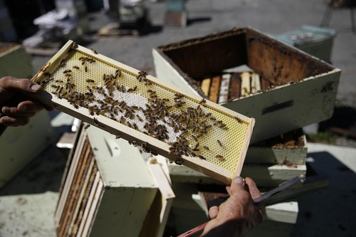 In this Tuesday, July 22, 2014 photo, Spencer Marshall holds a honeycomb frame that he pulled from a hive at Marshall's Farm Honey in American Canyon, Calif. California's record three-year drought has left hillsides barren and forced farmers to tear out orchards and leave fields fallow. Beekeepers are scrambling to find new flowers for their hives, feeding them artificial nectar or sending them out of state. (AP Photo/Eric Risberg)