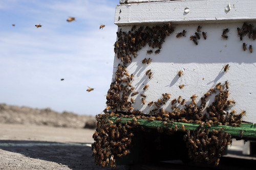 In this Wednesday, July 16, 2014 photo, bees hover around a hive on a field where they are to pollinate crops in Los Banos, Calif. The state is traditionally one of the country's biggest honey producers, with abundant crops and wildflowers that provide nectar that bees turn into honey. But a three-year drought has left hillsides barren and forced farmers to tear out orchards and leave fields fallow. (AP Photo/Marcio Jose Sanchez)