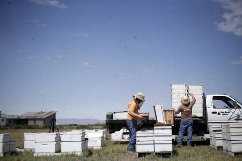 In this Wednesday, July 16, 2014 photo, Mike Brandi, left, and Jordan Erickson inspect beehives at a field in Los Banos, Calif. The state is traditionally one of the country's biggest honey producers, with abundant crops and wildflowers that provide nectar that bees turn into honey. But a three-year drought has left hillsides barren and forced farmers to tear out orchards and leave fields fallow. (AP Photo/Marcio Jose Sanchez)