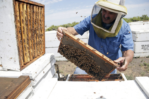 In this Wednesday, July 16, 2014 photo, Gene Brandi inspects one of his beehives in Los Banos, Calif. The state is traditionally one of the country's biggest honey producers, with abundant crops and wildflowers that provide nectar that bees turn into honey. But a three-year drought has left hillsides barren and forced farmers to tear out orchards and leave fields fallow. (AP Photo/Marcio Jose Sanchez)