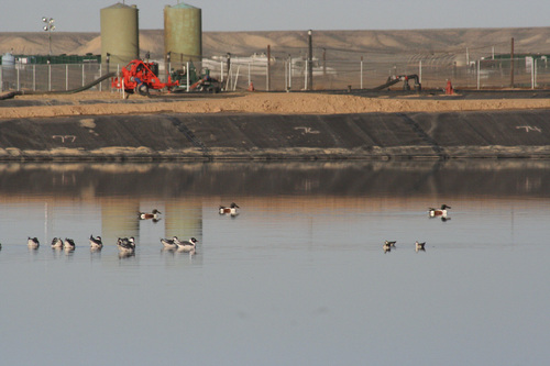 Courtesy Skip Ambrose  Migratory birds rest on an evaporation pond operated near Cisco by Danish Flats Environmental Services, which processes wastewater from oil and gas wells. Hydrocarbons on these ponds not only pollutes the air, but can harm these birds, which are protected under federal law.