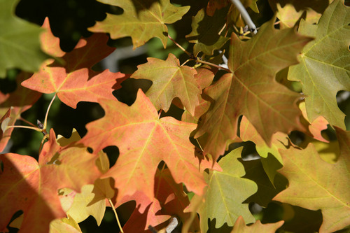 Al Hartmann     The Salt Lake Tribune The first hint of autumn is in the air as maple trees start their transition from green to red Tuesday September 2, 2014, at the top of Parleys Canyon.