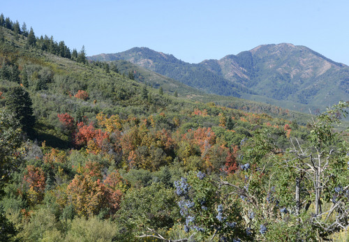 Al Hartmann     The Salt Lake Tribune The first hint of autumn is in the air as scrub oak and maple trees start to turn gold and red Tuesday September 2, 2014, near Summit Park at the top of Parleys Canyon.