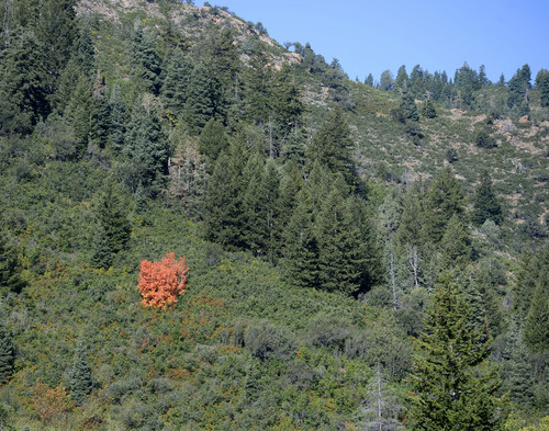 Al Hartmann     The Salt Lake Tribune A lone maple tree is ablaze in color in Parleys Canyon Tuesday September 3, 2014. The first colors have begun to appear at the higher elevations, meaning autumn is on the way.