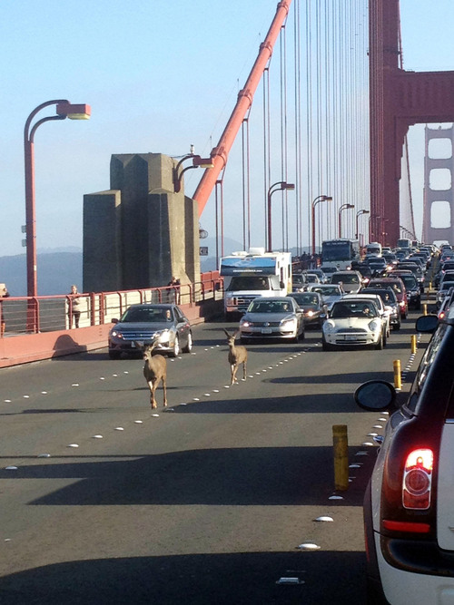 In this photo provided by Rebecca Abbey, deer cross the Golden Gate bridge, in San Francisco, Friday, Sept. 5, 2014. The San Francisco Chronicle reports that two deer headed north on the Golden Gate bridge to Marin snarled traffic during the evening commute. (AP Photo/Rebecca Abbey) MANDATORY CREDIT