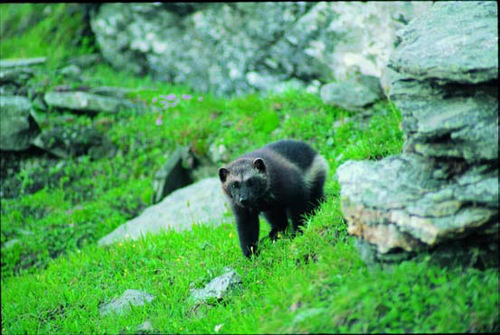 """(Courtesy U.S. Fish and Wildlife Service) State wildlife officials from the West will ask the U.S. Fish and Wildlife Service to extend a decision on listing wolverines as threatened on the Endangered Species List for 90 days after the group decided """"the science used to propose the species was faulty"""" during a meeting earlier this month in Salt Lake City."""