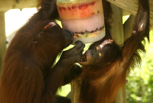 Leah Hogsten  |  Tribune file photo Bornean Orangutan Acara tastes the fruit-flavored hands of her mother Eve while the two pick fruit and lick fruit juice from their ice block enrichment treat during Hogle Zoo's 2011 ice block day. Orangutan Eli, 24, lived as a mate with Eve and fatherd Acara. He died Saturday from breast cancer.