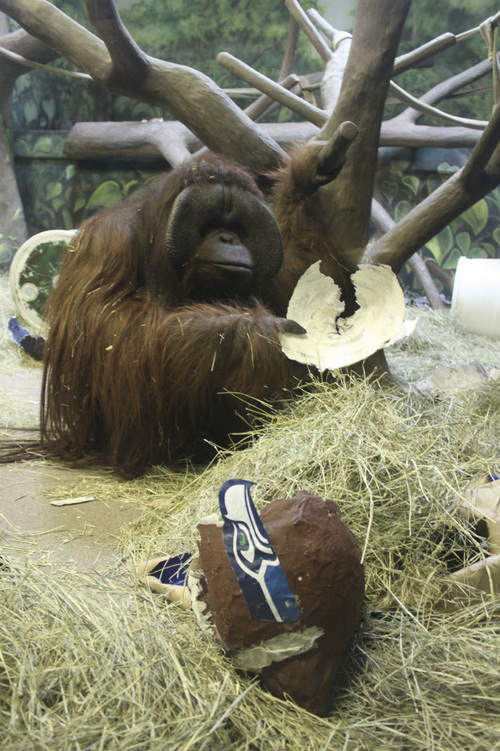 Eli, a male orangutan at Utah's Hogle Zoo, acted quickly Thursday when he entered a cage and dismantled a mock Seattle helmet, his sign of picking the Seahawks to defeat the Denver Broncos in Sunday's Super Bowl. Seattle fans should be thrilled by his choice. Eli and his predecessor pickers at the zoo have correctly selected the champions in the last six Super Bowls. Courtesy photo