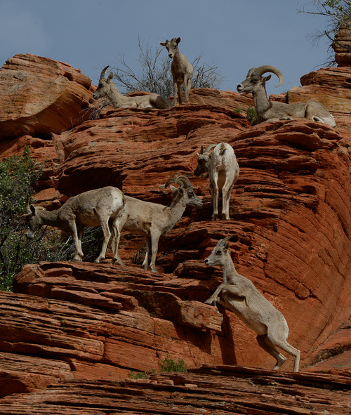 Franciso Kjolseth  |  The Salt Lake Tribune Big horn sheep draw the attention of onlookers along the Zion-Mount Carmel Highway in Zion National Park.