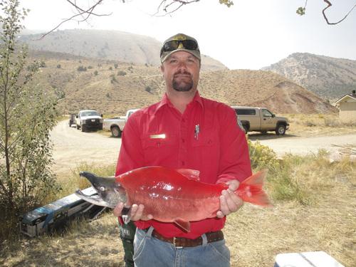 Utah rivers running red with salmon the salt lake tribune for Utah game and fish