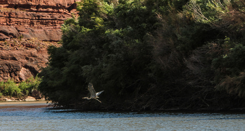Francisco Kjolseth  |  The Salt Lake Tribune A Great Blue Heron keeps its distance moving down river in stages as river boats push down stream in the flat waters of the Colorado before Cataract Canyon.
