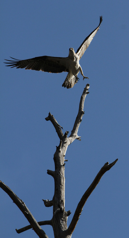 Francisco Kjolseth  |  Tribune file photo An Osprey leaves its perch, high above the B section of the Green River during a recent float down the stretch that yielded more wildlife sightings that fish.