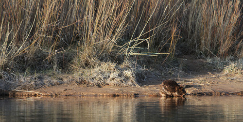 Francisco Kjolseth  |  Tribune file photo A beaver carries on as the sun begins to set on the B section of the Green River.